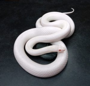 blizzard corn snake