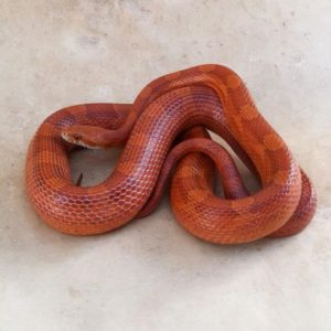 diffused corn snake