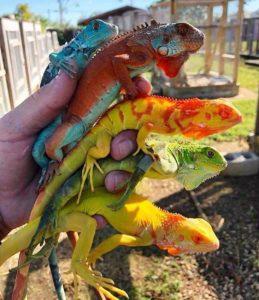 10 Best Iguana Morphs
