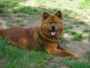 About Akita Chow