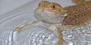Bathe A Bearded Dragon
