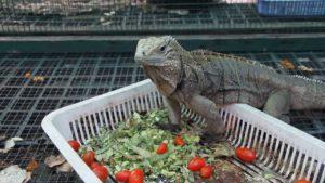 Iguana Eating Tomatoes