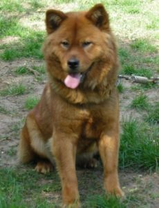 Know About Akita Chow