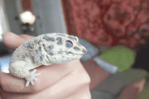My Leopard Gecko Is Pale