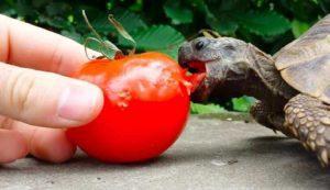 Tortoise Eat Tomatoes