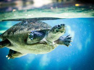 Tortoise Swiming