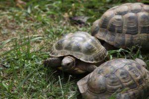 Tortoises Safe Pets For Families