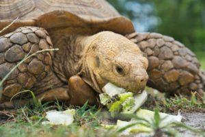 What-Do Tortoises-Eat