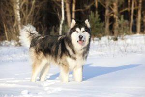 Alaskan-Malamute Need Winter Boots