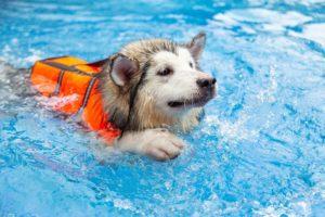 Can Alaskan Malamutes Swim