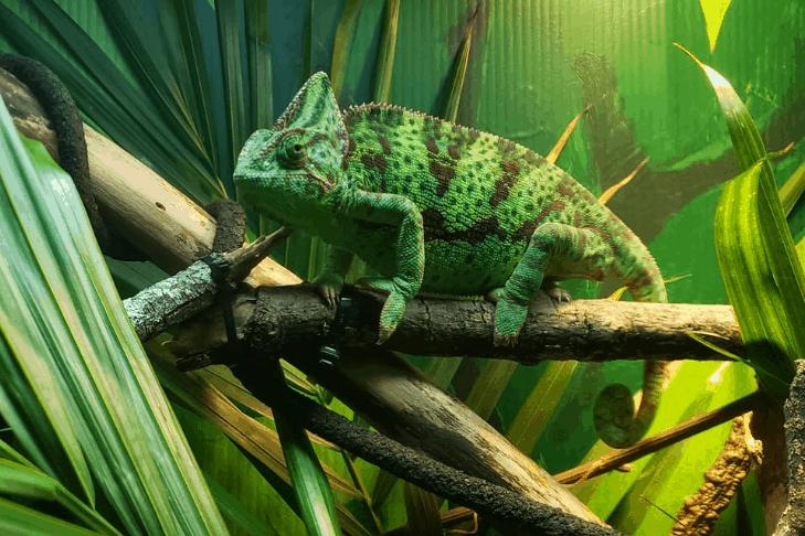 Can Chameleons Eat