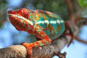 Chameleons Eat Oranges or Not