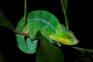 Chameleons See In The Dark