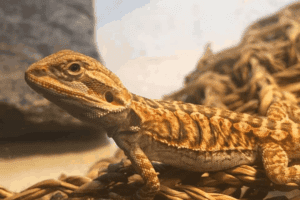 Coccidia In Bearded Dragons