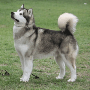 Everything You Need To Know About-Alaskan Malamute