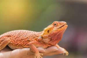 How To Get Rid Of Parasites In Bearded Dragons