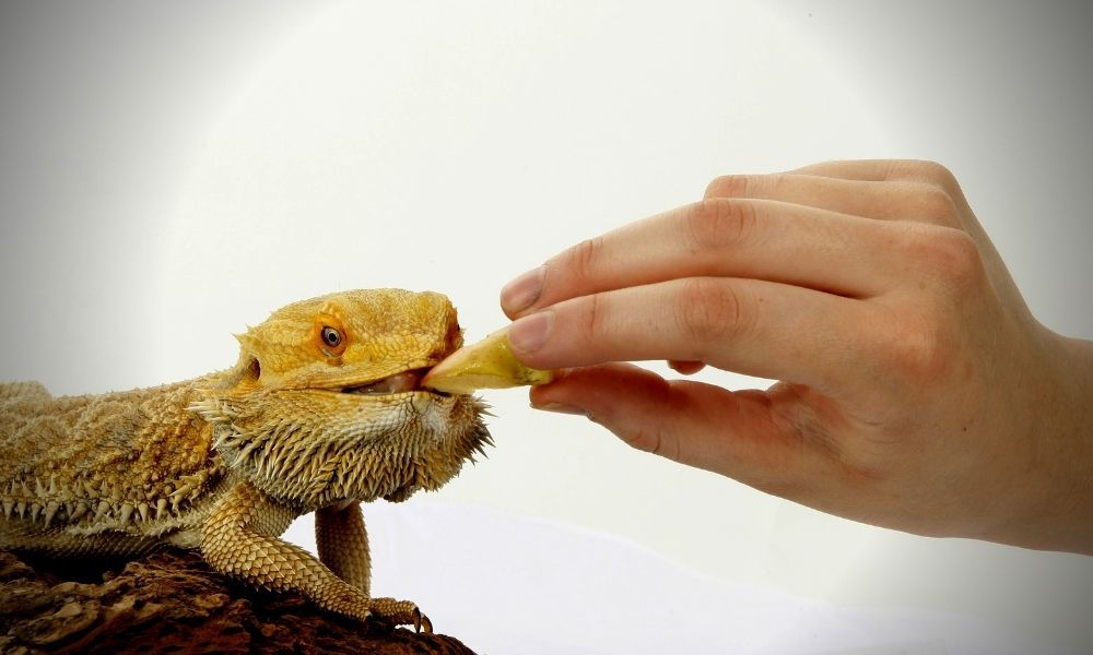 How To Tell If Your Bearded Dragon Is Hungry