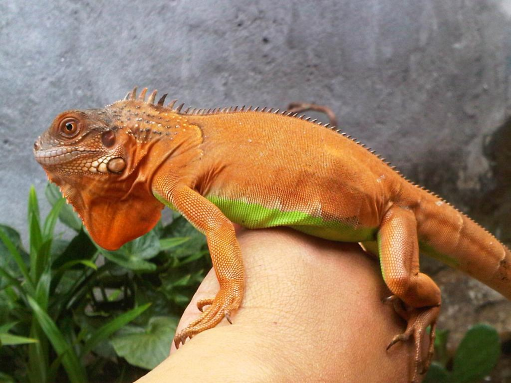 Iguanas Change Colour