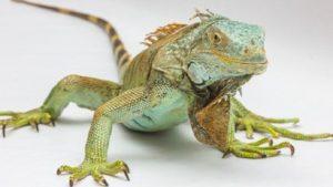 Iguanas Eat Meat