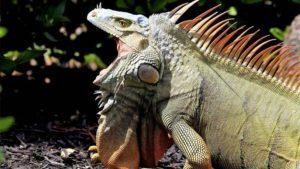 Iguanas Have Teeth or Not