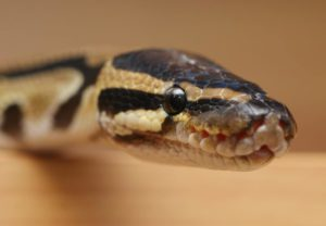 My Ball Python Is Not Eating