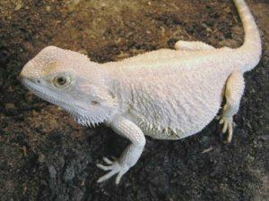 My Bearded Dragon Turning White