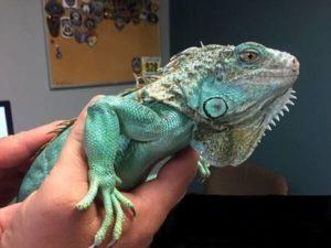 Raise An Iguana