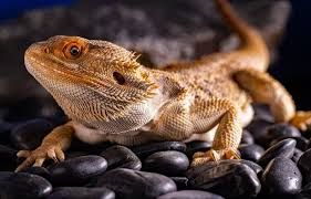Treat Pinworms In Bearded Dragons