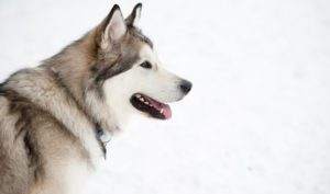 How To Groom An Alaskan Malamute At Home
