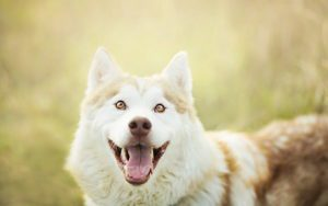 Why Your Alaskan Malamute Lick You