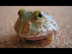 Baby Pacman Frog