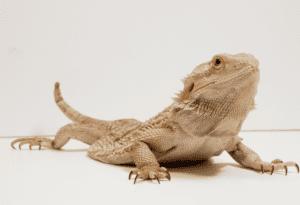 Bearded Dragon Dragging Its Back Legs