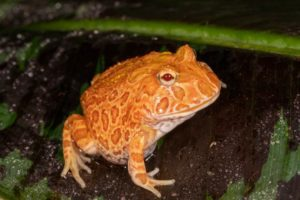 Do Pacman Frogs Need Heat or Not
