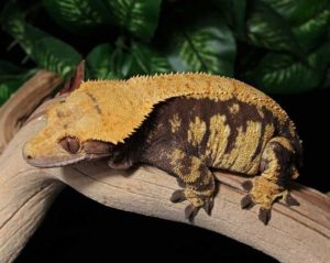 Obese Crested-Gecko