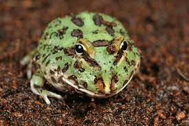 Pacman Frog Shedding Guide