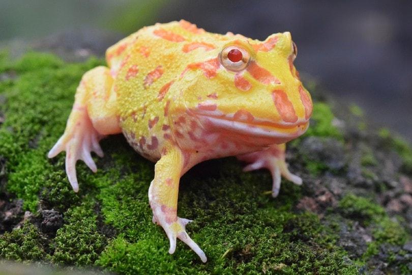 Pacman Frog Shedding