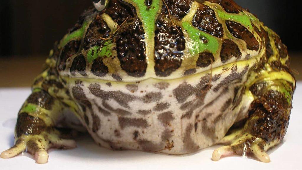 pacman-frog