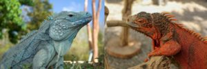 Blue-iguana vs Red-iguana